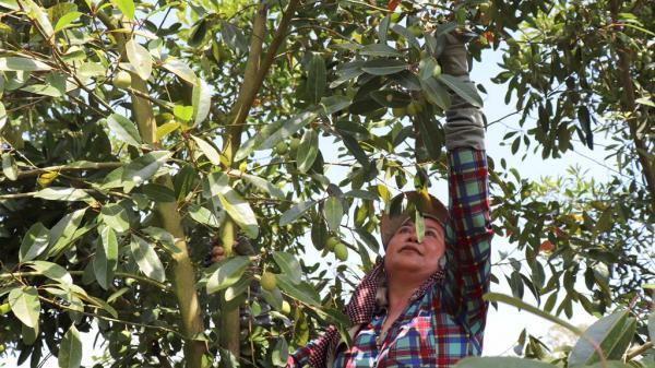 Mùa nước nổi, người miền Tây thu nhập tiền triệu nhờ loại quả đặc sản này
