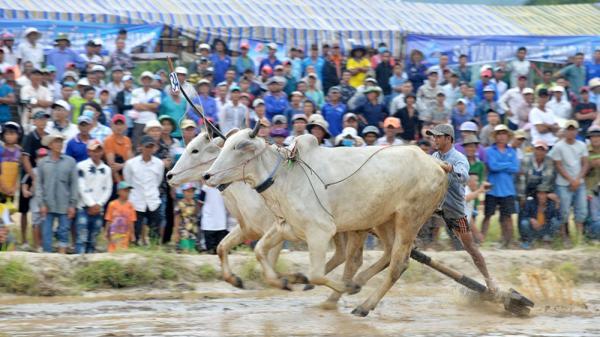 An Giang sôi nổi Hội đua bò Bảy Núi