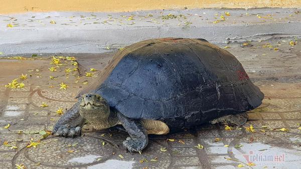 'Cụ rùa' sống dưới tượng phật Quan Âm trong chùa ở miền Tây