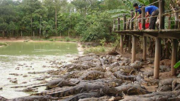 Cá sấu rớt giá, ế ẩm khiến người nuôi ở Bạc Liêu lỗ nặng