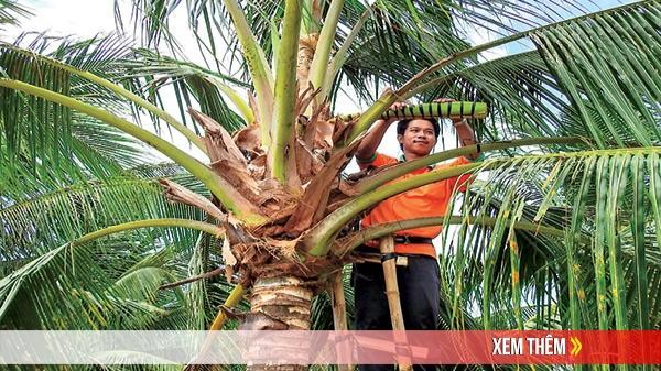 Chuyện lạ ở Đồng Tháp: Mát xa hoa dừa chảy ra mật bổ dưỡng