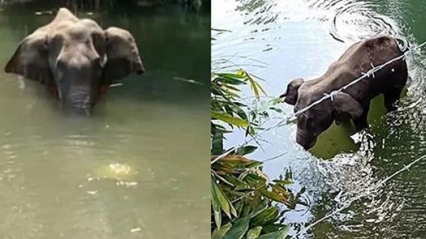 Đi vào làng xin ăn, cô voi đang mang thai bị dân lừa ăn quả dứa chứa pháo phát nổ rồi qua đời